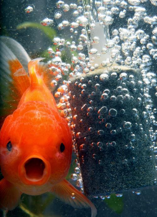 imperial goldfish - photo #22
