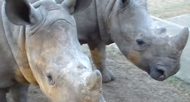 What baby rhinos sound like