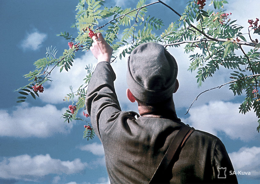 Finnish journalist Olavi Paavolainen picks berries from a tree during WW2.