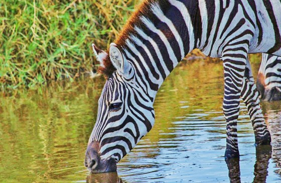 zebra-285482_1280
