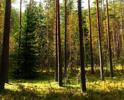 Picture of Finnish forest