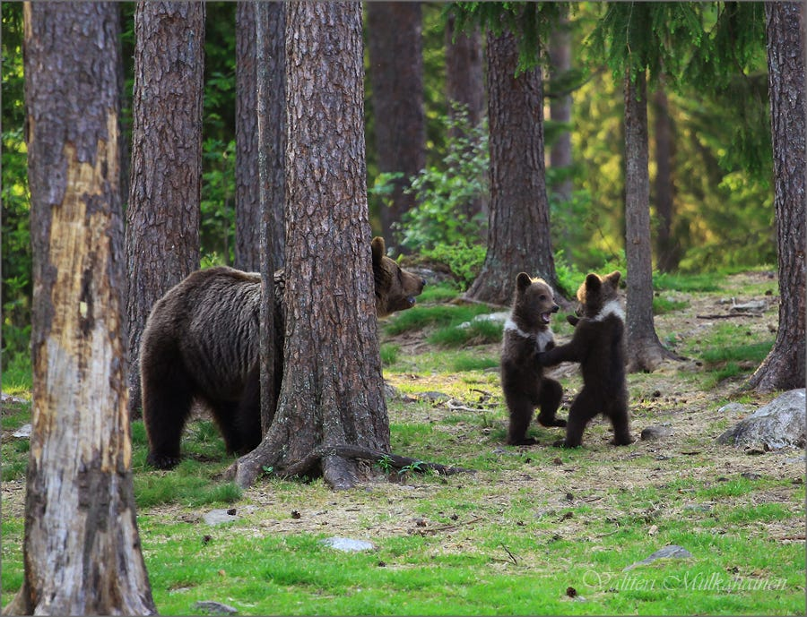 "Finnish photographer Valtteri Mulkahainen's iconic shot of ""dancing"" bear cubs"