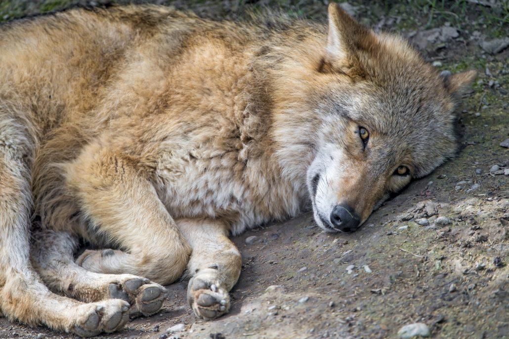 Cute wolf that Finns want to kill