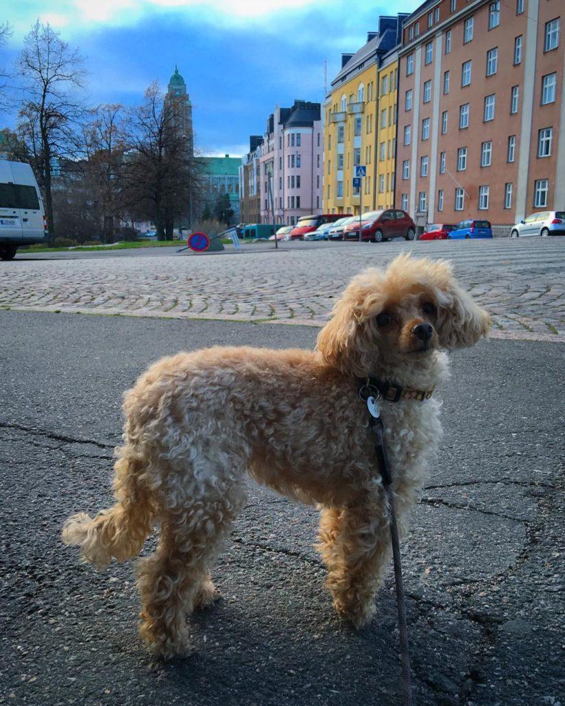 Apricot toy poodle, Hipsu, in autumnal Kallio, Helsinki, near Karhunpuisto