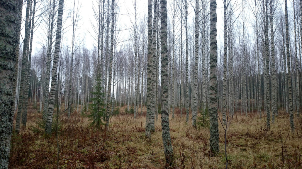 Finnish birch forest in late October